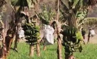 Shocking! Banana plantations get their own 'Covid-19'