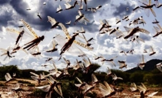 Locusts won't attack south India, urban areas: Experts
